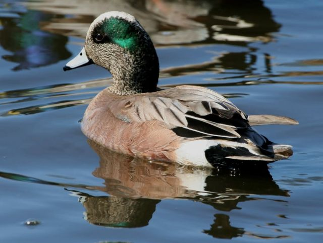 American Wigeon Drake Picture