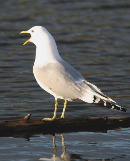 Mew Gull Calling Picture