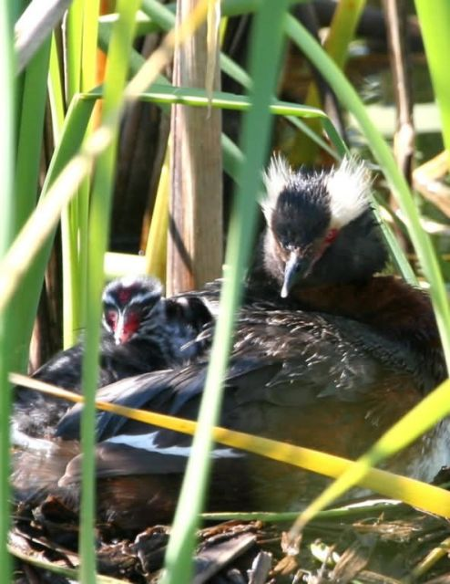 Horned Grebe Nesting Picture