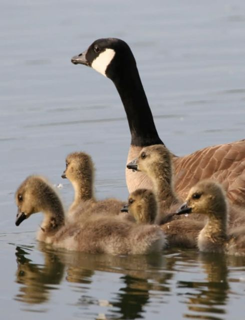 Lesser Canada Goose Brood Picture