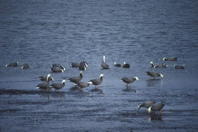 Emperor Geese at Shoreline Picture