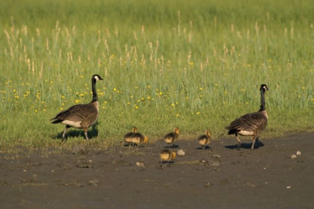 Canada Geese and Goslings Picture