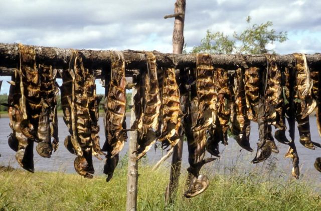 Salmon Drying Along Koyukuk River Picture