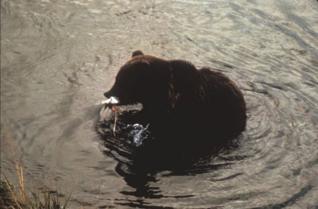 Brown Bear with Fish Picture