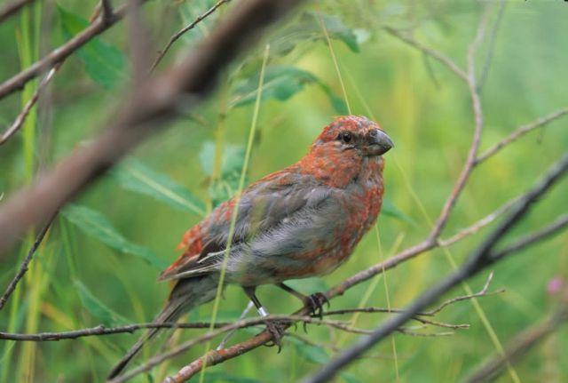 Pine Grosbeak Juvenile Picture