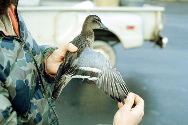 Garganey Duck Picture