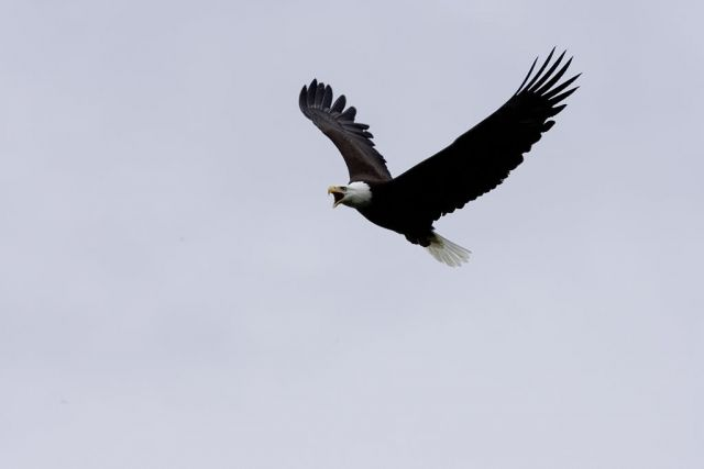 Bald Eagle in Flight Picture