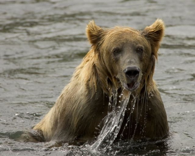 Brown Bear Fishing Picture
