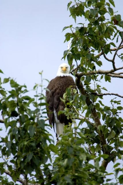 Bald Eagle in Tree Picture