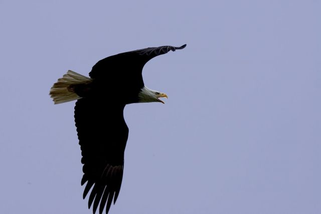 Bald Eagle in Flight Overhead Picture