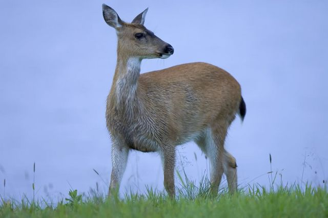 Sitka Black-tailed Deer Picture