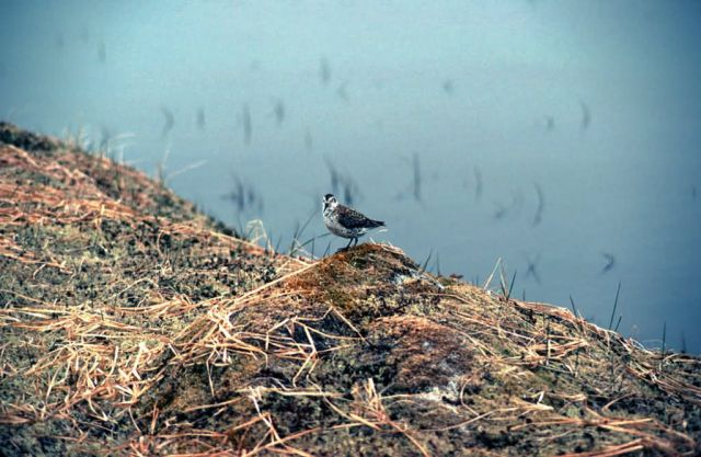 Rock Sandpiper Picture