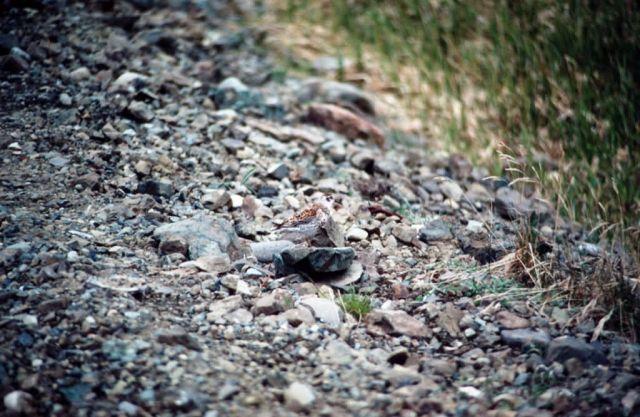 Rock Sandpiper Picture