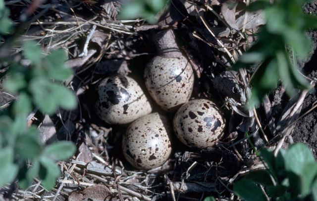 Baird's Sandpiper Nest with Eggs Picture