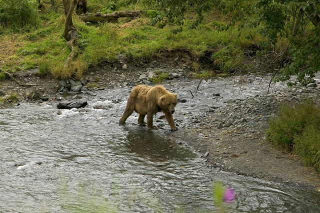 Brown Bear at River's Edge Picture