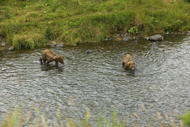 Two Brown Bear Cubs in River Picture