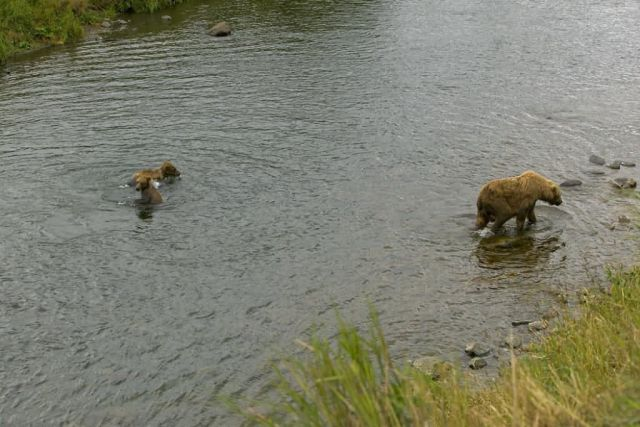 Brown Bear Sow and Two Cubs in River Picture