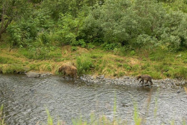 Brown Bear Sow and Cub at River's Edge Picture