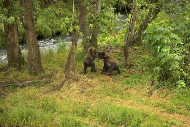 Brown Bear Cubs Playing by River Picture