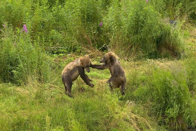 Brown Bear Cubs Playing Picture