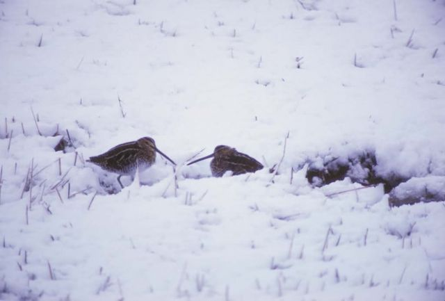 Snipe in Snow Picture