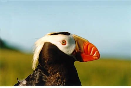 Tufted Puffin in Hand Picture