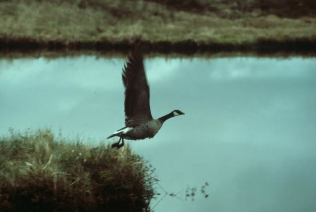 Canada Goose Taking Flight Picture