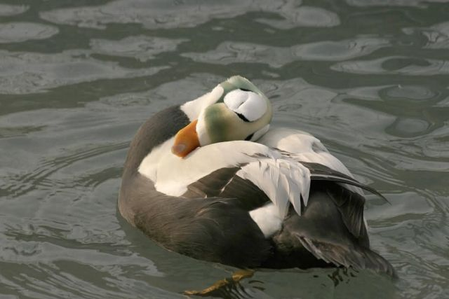 Spectacled Eider Male Picture