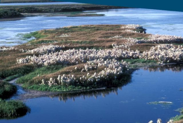 Cottongrass on Selawik River Picture