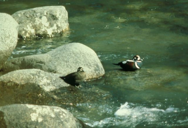 Harlequin Ducks Picture