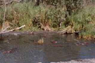 Spawning Salmon Picture