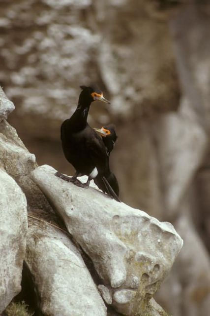 Red-faced Cormorants Picture