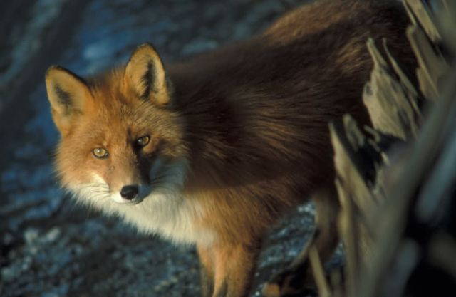 Red Fox at Shipwreck