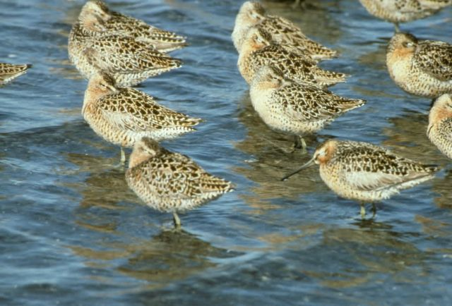 Short-billed Dowitcher Flock at Shoreline Picture