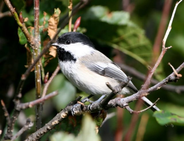 Black-capped Chickadee Picture