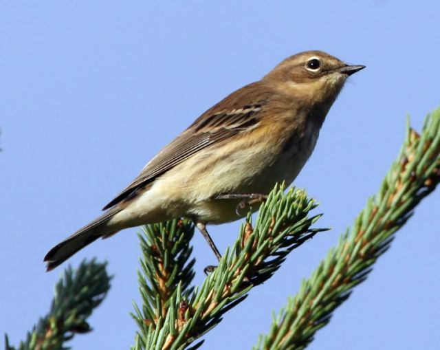 Yellow-rumped Warbler Picture