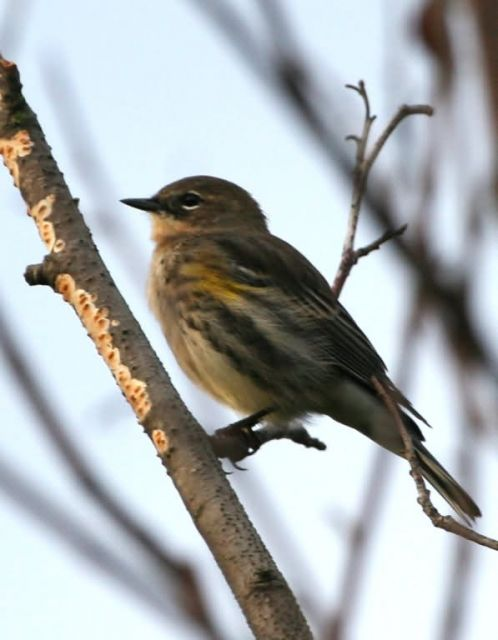 Townsend's Warbler Picture