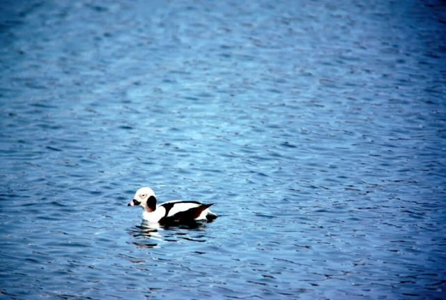 Long-Tailed Duck Picture