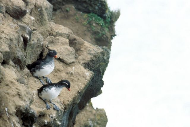 Parakeet Auklet Picture