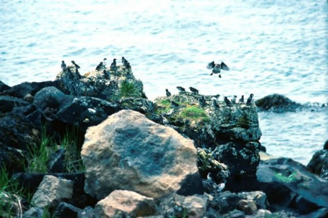 Auklets Picture