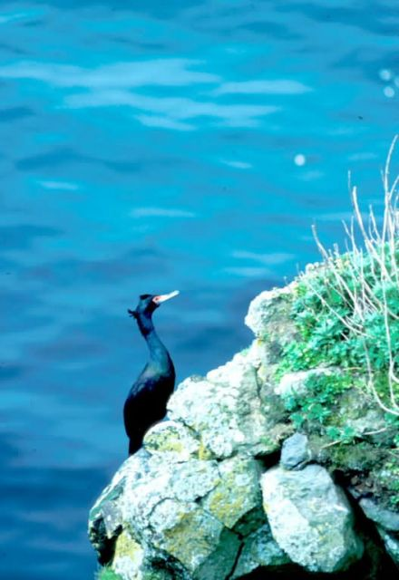 Cormorants Picture