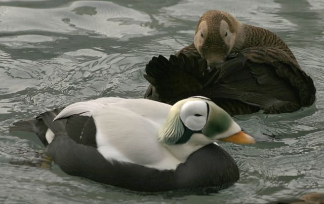 Spectacled Eider Male and Female Picture