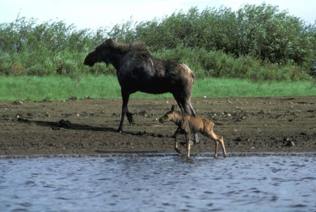 Moose and Calf Picture