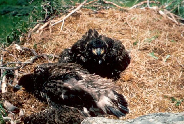 Bald Eagle Young in Nest Picture