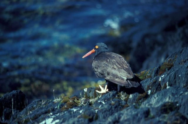 Black Oystercatcher on Naked Island Picture
