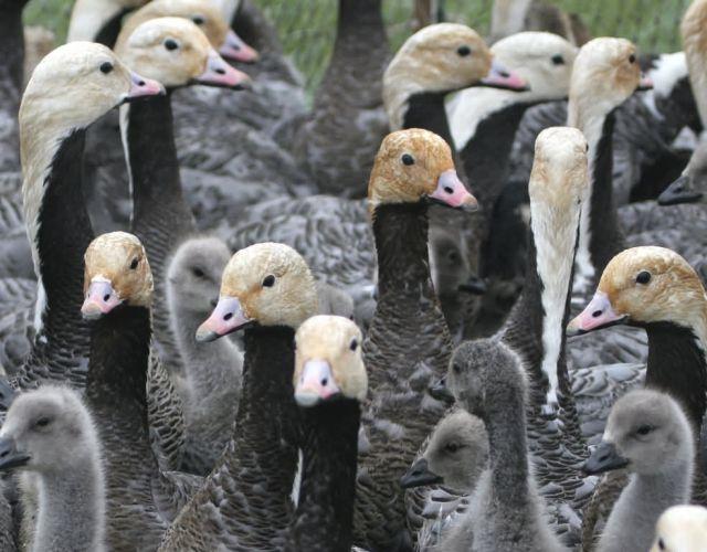 Emperor Goose Round-up Picture
