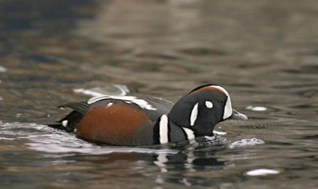 Harlequin Duck Male Picture