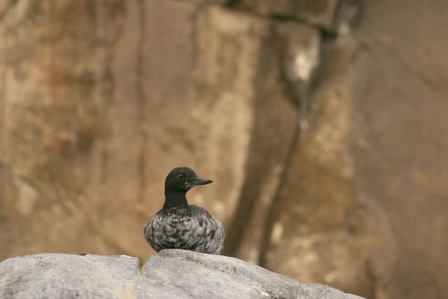 Pigeon Guillemot Picture