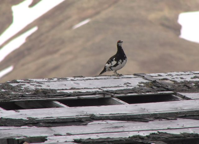 Evermann's Rock Ptarmigan, Attu Picture