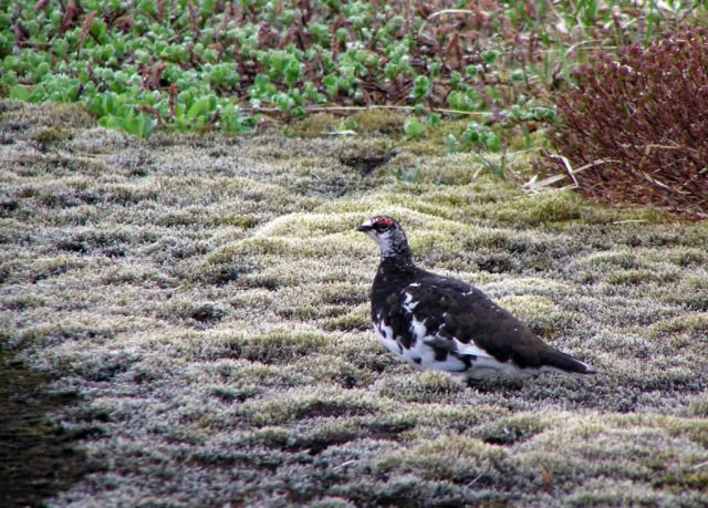 Evermann's Rock Ptarmigan Picture